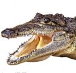aligator image